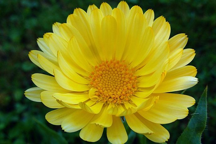 A marigold flower, yellow in color looking at it from above.