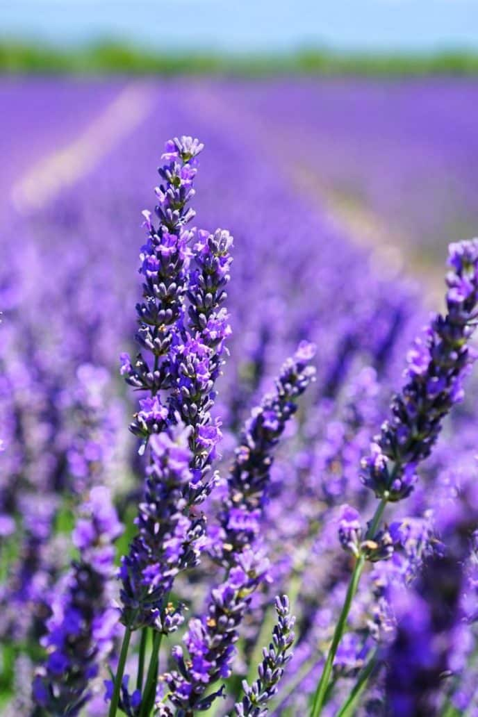A field of lavender plants, which are also great for repelling mosquitoes.